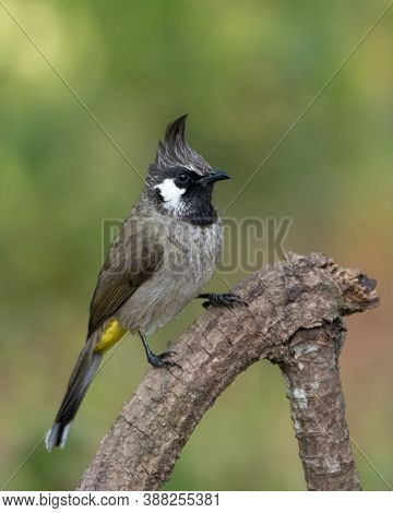 A Himalayan Bulbul (pycnonotus Leucogenys), Also Called The White-cheeked Bulbul, Perched On A Branc