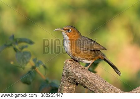 A Rusty-cheeked Scimitar Babbler (erythrogenys Erythrogenys), Perched On A Tree Branch In The Wild F