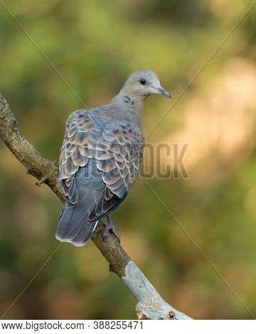 An Attractive European Turtle Dove (streptopelia Turtur), Perched On A Tree Branch With Its Back Fac