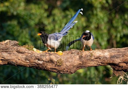 A Pair Of Attractive Red-billed Blue Magpie (urocissa Erythroryncha), Perched On A Tree Log In The F