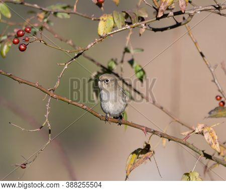 A Cute Little Female Blue-capped Redstart (phoenicurus Caeruleocephala), Perched On A Berry Tree In