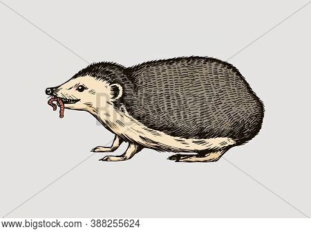 Hedgehog Or Spiny Forest Animal With A Worm. Prickly Creature. Side View. Vector Engraved Hand Drawn