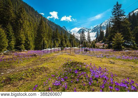 Stunning Alpine Spring Scenery, Wonderful Forest Glade With Fresh Colorful Purple Crocus Flowers And