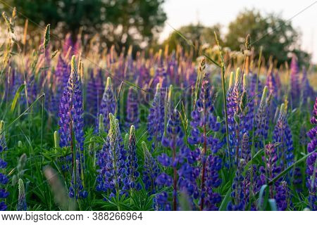 Summer Landscape With Blooming Lupine On Meadow.