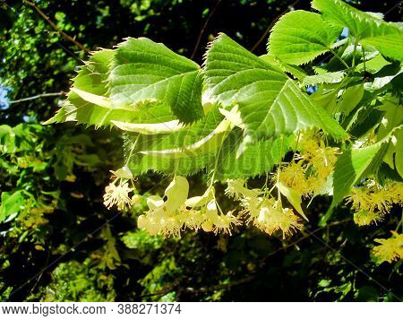 Close Up Of Lime Tree Flowers Against A Background Of Trees, Also Known As A Linden Tree (tilia Euro
