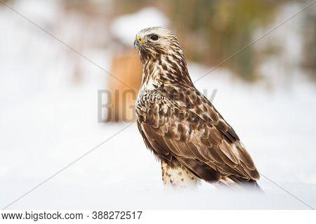 Cruel Common Buzzard Sitting On Meadow In Winter.
