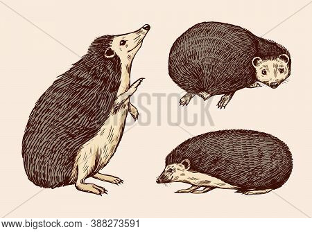 Hedgehog Or Spiny Forest Animal. Prickly Creatures. Vector Engraved Hand Drawn Vintage Sketch For La