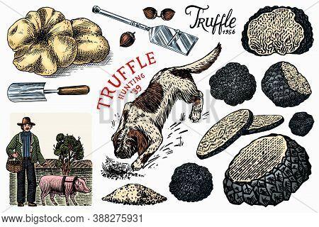 Truffles Mushrooms Set. Hog And Lagotto Romagnolo Dog. Engraved Hand Drawn Vintage Sketch. Ingredien