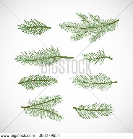 Hand Drawn Vector Winter Evergreen Spruce Or Pine Tree Branches Set. Colorful Fir-needle Twigs Sketc