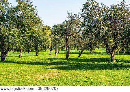 Apple Tree On Sunny Day. Fruit Tree Garden. Ripe Apples Grow On Tree. Fruit Tree Production