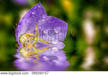 Single Campanula Purple Flower Resting On The Water Close Up With Early Morning Dew Drops In July. C