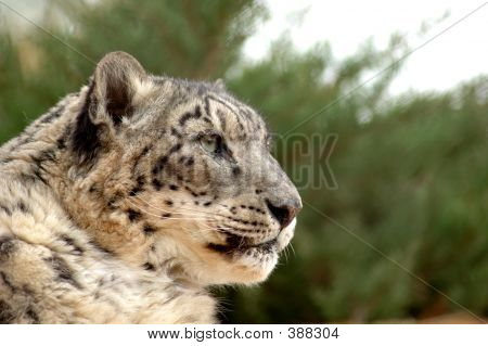 Snow Leopard In Profile
