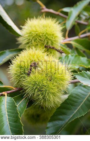 Sweet Chestnut On A Tree In Autumn