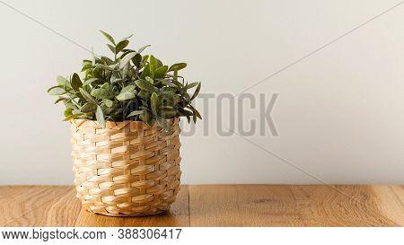 Green Plant On Wooden Table. Indoor Plants, Scandinavian Style In The Interior. Copy Space