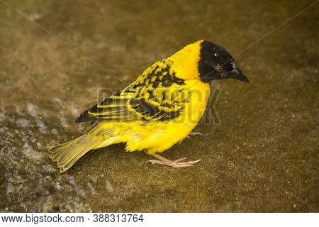 The Village Weaver (textor Cucullatus) In Zoo.
