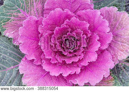 Colorful Cabbage Kale With Decorative Ornamental Leaves In Green To Purple Shades And Flower Like Lo