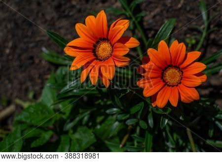 Two Bright Orange Red Gazania Flowers With Yellow Center With Green Leaves Grows On Flower Bed In Su