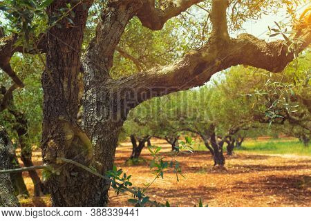 Olive trees (Olea europaea) grove in Crete, Greece for olive oil production. Horizontal camera pan
