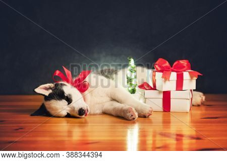 A small white dog puppy breed siberian husky with red bow and gift boxes sleep on wooden floor. Perfect birthday and Christmas present for your child