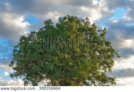A Round Green Crown Of Walnut Stands Against A Blue Sky. The Yellow Rays Of The Setting Sun Are Refl