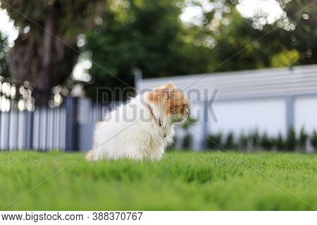 The Cute Persian Cat Sitting On The Green Grass Field, And Looking Something, Selective Focus Shallo
