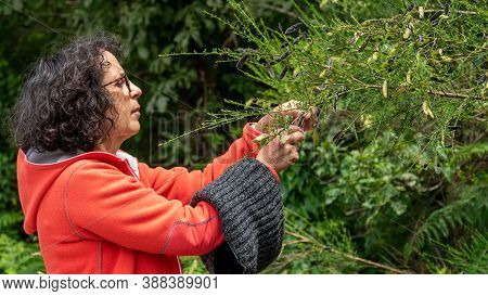 A Mature Woman Picking Berries In Hedge