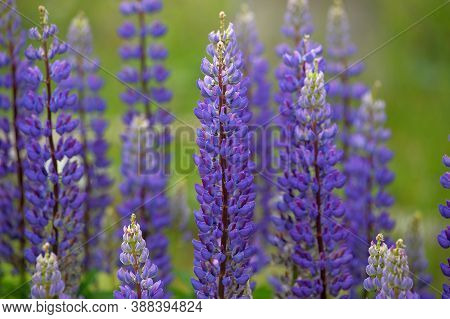 Purple Lupins In Arrowtown, New Zealand Close Up