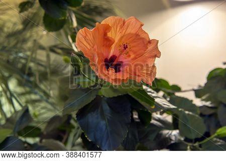 Beautiful Hibiscus Rosa-sinensis ,shoe Flower Orange At Park