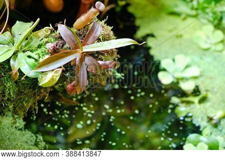 Nepentes, Or Pitcher - A Genus Of Predatory Plants Of The Monotypic Family Nepenthaceae. Background