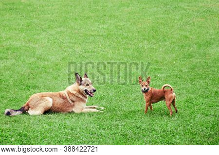 Homeless And Pedigreed Little Dog Toy Terrier, Copy Space. Friendship Of Different Dogs, Place For T