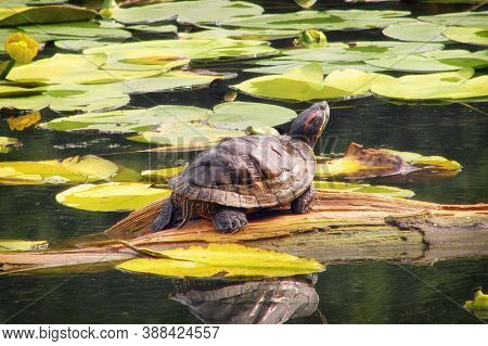 Big Red-eared Turtle In A Pond Among Water Lilies. Trachemys Scripta Basking In The Summer Sun. Turt