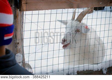 Goat And Boy Say Baa White Animal,