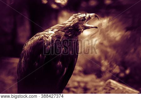 Flashy Black Eagle, The Ominous Mystical Concept. Bird Terrify, The Foreboding. Animal From A Horror
