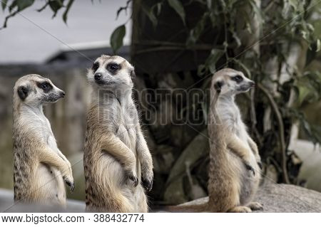 Close Up On Three Cute Meerkats That Small Animal Its Standing To Alert Look In Forward On A Small T