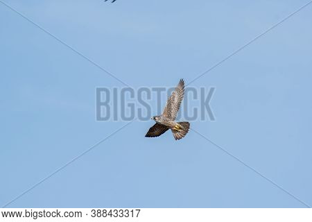 A Peregrine Falcon Flying In The Sky. Burnaby Bc Canada