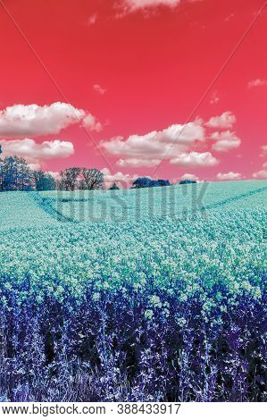 Infra Red Hyper Color Shot Of Flowering Rape Against A Blue Sky With Clouds. Abstract Landscape Back