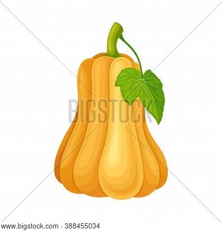Ripe Orange Pumpkin With Smooth Skin Isolated On White Background Vector Illustration