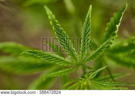 Hemp. Marijuana Leaves, Cannabis. Blurred Background With Hemp Leaves. Green Leaves Of Hemp. Selecti