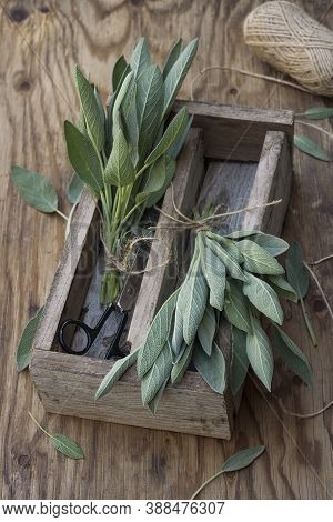 Homegrown Fresh Sage In A Wooden Box On An Old Wooden Table