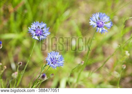 Blue Cornflower (centaurea Cyanus) Flowers On A Background Of Beautiful Evening Light. Wildflower Co