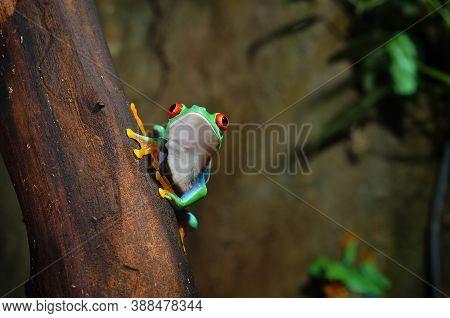 Red Eye Frog  Agalychnis Callidryas In Terrarium.