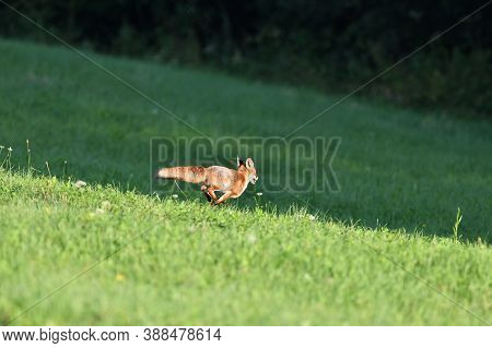 Red Fox Runs Across The Meadow To The Forest