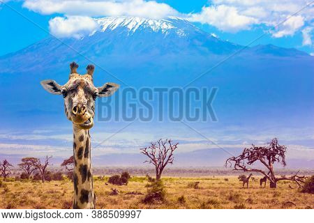 Funny chewing giraffe at the foot of Kilimanjaro with a snow cap on a flat top. Southeast Kenya, the Amboseli park. Trip to the Horn of Africa