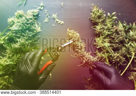 Harvest Weed Time Has Come. Mans Hands Trimming Marijuana Bud. Growers Trim Cannabis Buds. Growers T