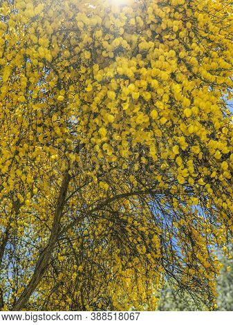 Lit By The Rays Of The Sun Golden Partium Junceum Or Spanish Broom Bushes Abundantly Blooming In Nat