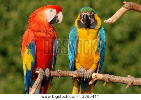Two Macaw Parrots On A Branch