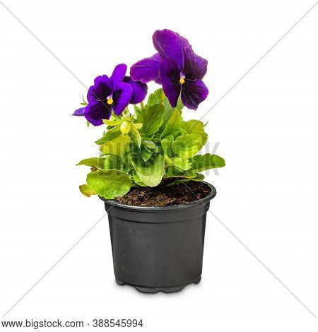 Purple Pansy Flowers, Viola Wittrockiana, In A Black Pot, On White Background