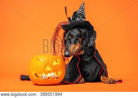 Funny Dachshund In Witch Pointed Hat With Veil And Black Magic Mantle Sits On Orange Background And