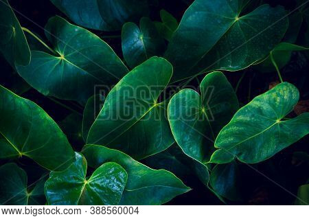 Anthurium In The Natural Background Has A Lush Green Color. Tropical Leaves Colorful Flower On Dark