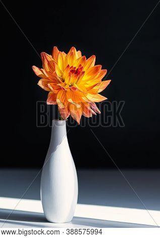 Bright Orange Dahlia In A White Ceramic Vase On A Black Background. Close-up.